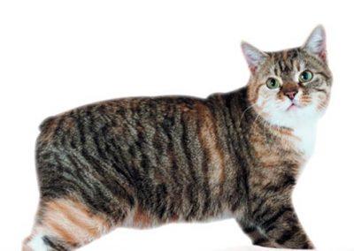 caracteristicas fisicas del gato manx