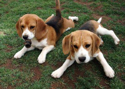 caracteristicas perro beagle enano