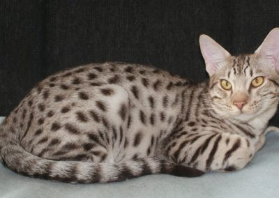 chocolate silver spotted ocicat