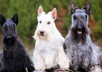 perros de raza scottish terrier