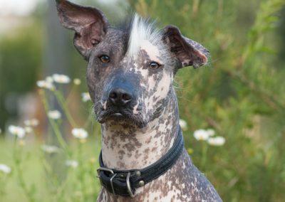 cuanto cuesta un perro xoloitzcuintle