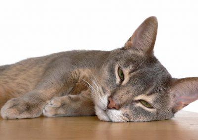 abisinio gato azul