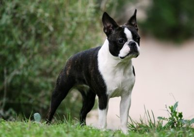 como entrenar a tu perro boston terrier
