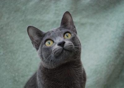 comportamiento del gato korat