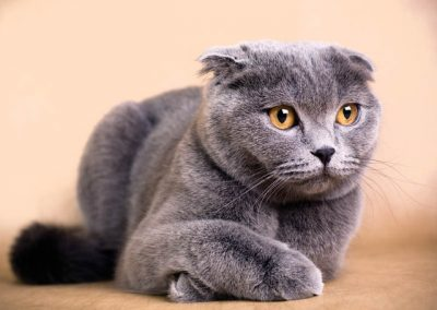 comportamiento del gato scottish fold