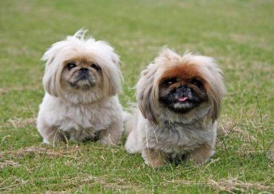 corte de pelo para perros pequines