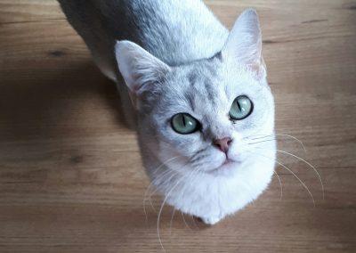 criadero gato burmilla