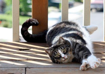 criador de gato american shorthair