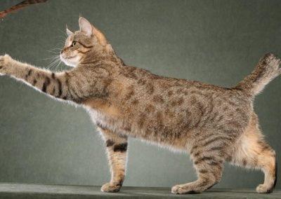 criadores de gatos pixie bob