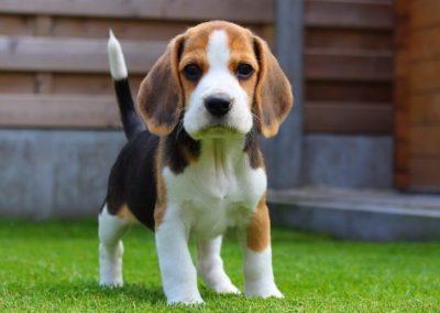 cual es el perro beagle