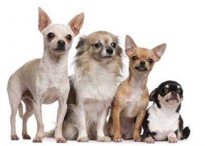 cuantas razas de perros chihuahua hay