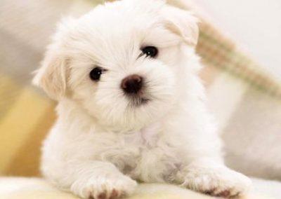 cuanto crecen los poodle toy