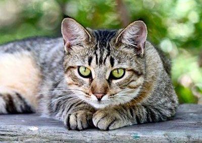 cuanto cuesta un gato american shorthair