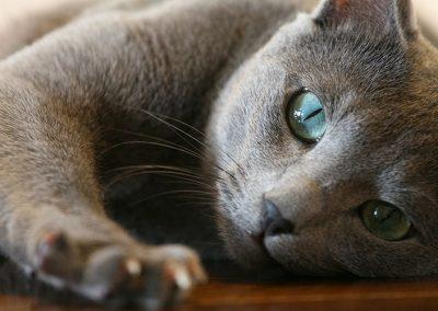 cuanto cuesta un gato azul ruso