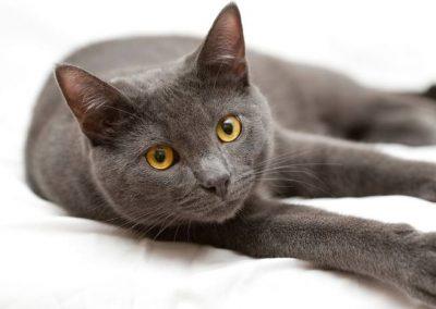 cuanto cuesta un gato korat