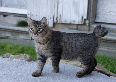 cuanto cuesta un gato pixie bob