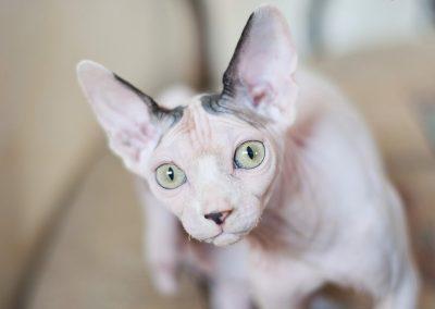cuanto cuesta un gato sphynx