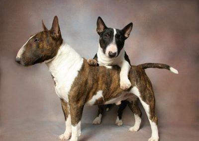 cuanto cuesta un perro bull terrier