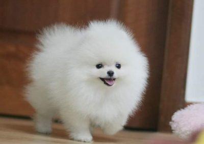 cuanto cuesta un perro pomerania toy