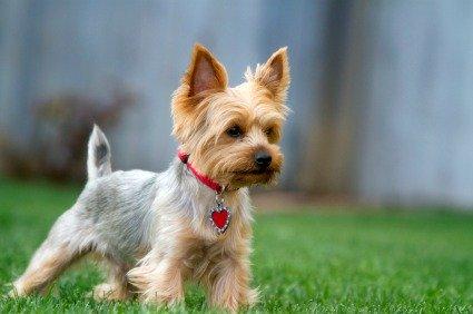 cuanto cuesta un perro yorkshire terrier