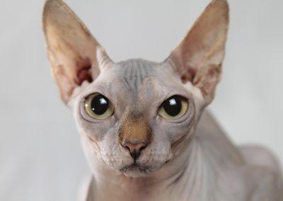cuidados para gato sphynx