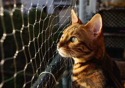 de que se alimenta el gato bengalí