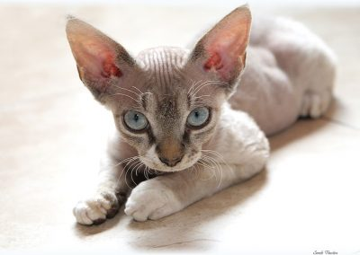 devon rex vs cornish rex