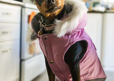 disfraces para perros pincher miniatura