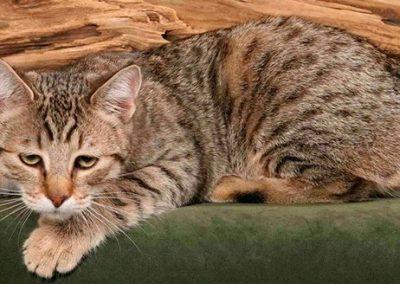 donde puedo comprar un gato pixie bob