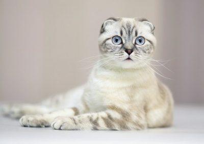 donde puedo comprar un gato scottish fold
