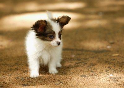donde puedo comprar un perro papillon