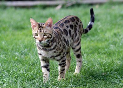 el gato bengalí tu leopardo cariñoso en miniatura