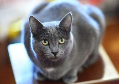 el gato korat