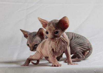 el gato sphynx produce alergia