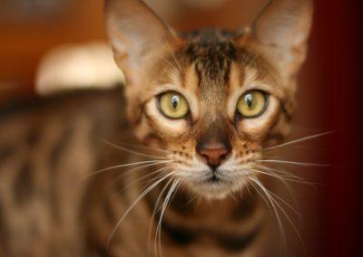 el mejor gato bengalí