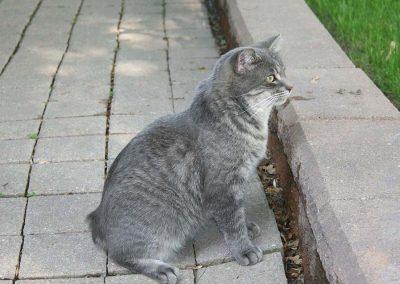 enfermedades del gato manx