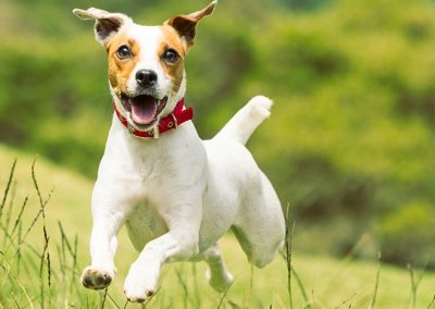 estandar de la raza jack russell terrier