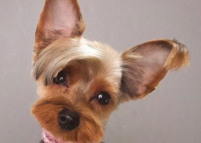 estilos de corte de pelo para yorkshire terrier
