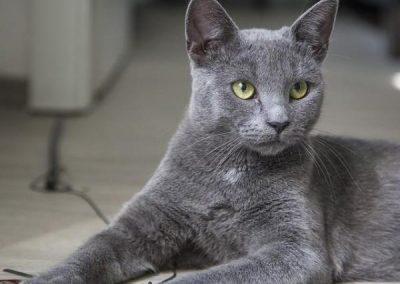 fotos de gatos korat