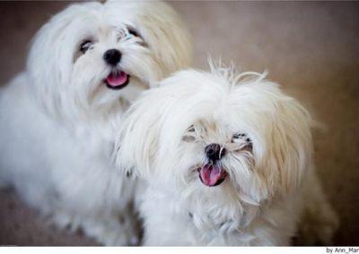 fotos de perros bichon maltes adultos