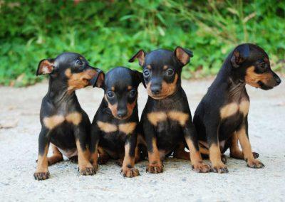 fotos de perros pinscher miniatura