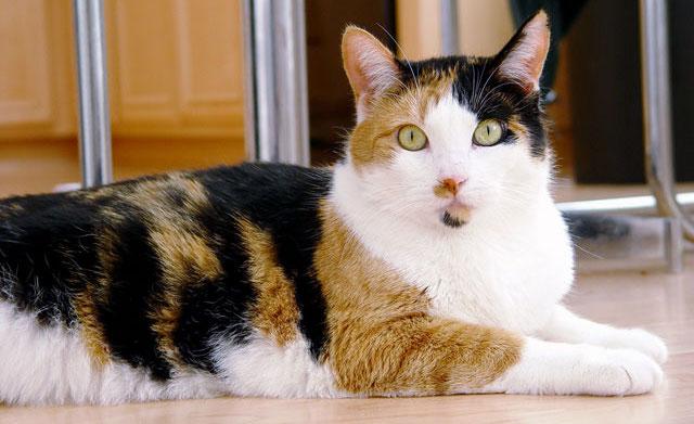 como saber si es gato o gata por los colores