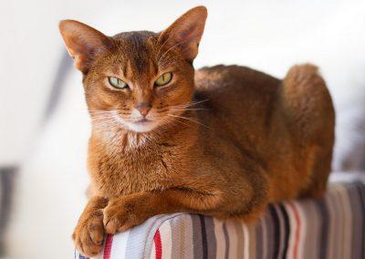 gato abisinio caracter
