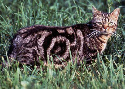 gato american shorthair comportamiento