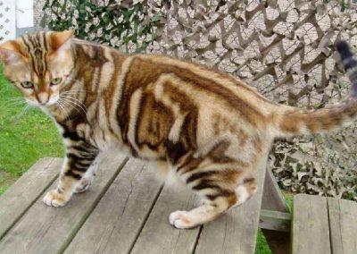 gato american shorthair precio