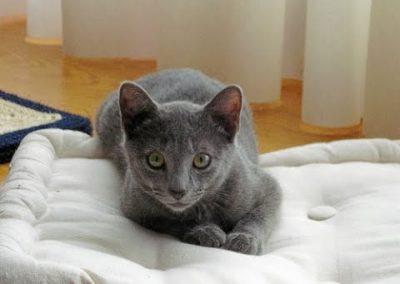 gato azul ruso caracteristicas fisicas