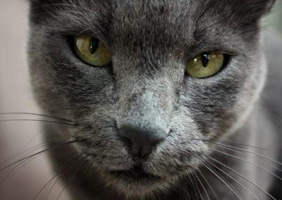 gato azul ruso color de ojos