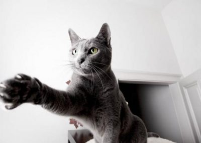 gato azul ruso continental