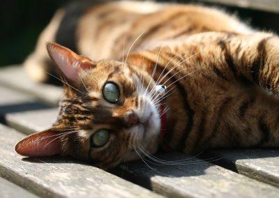 gato bengalí caracter