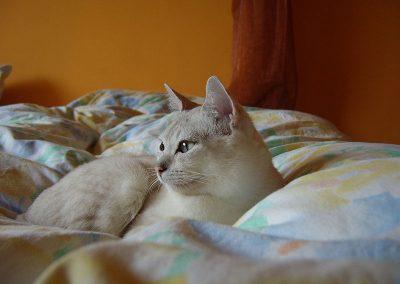 gato burmilla caracter